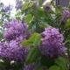 라일락 꽃